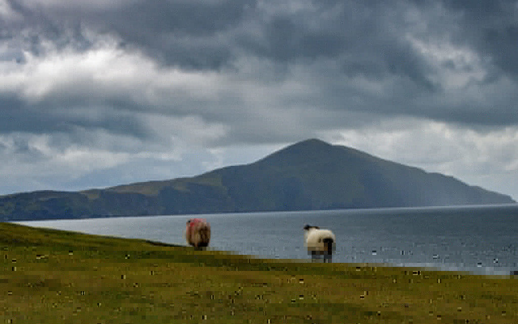 sheep on achill island mayo