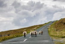 sheep on achill island