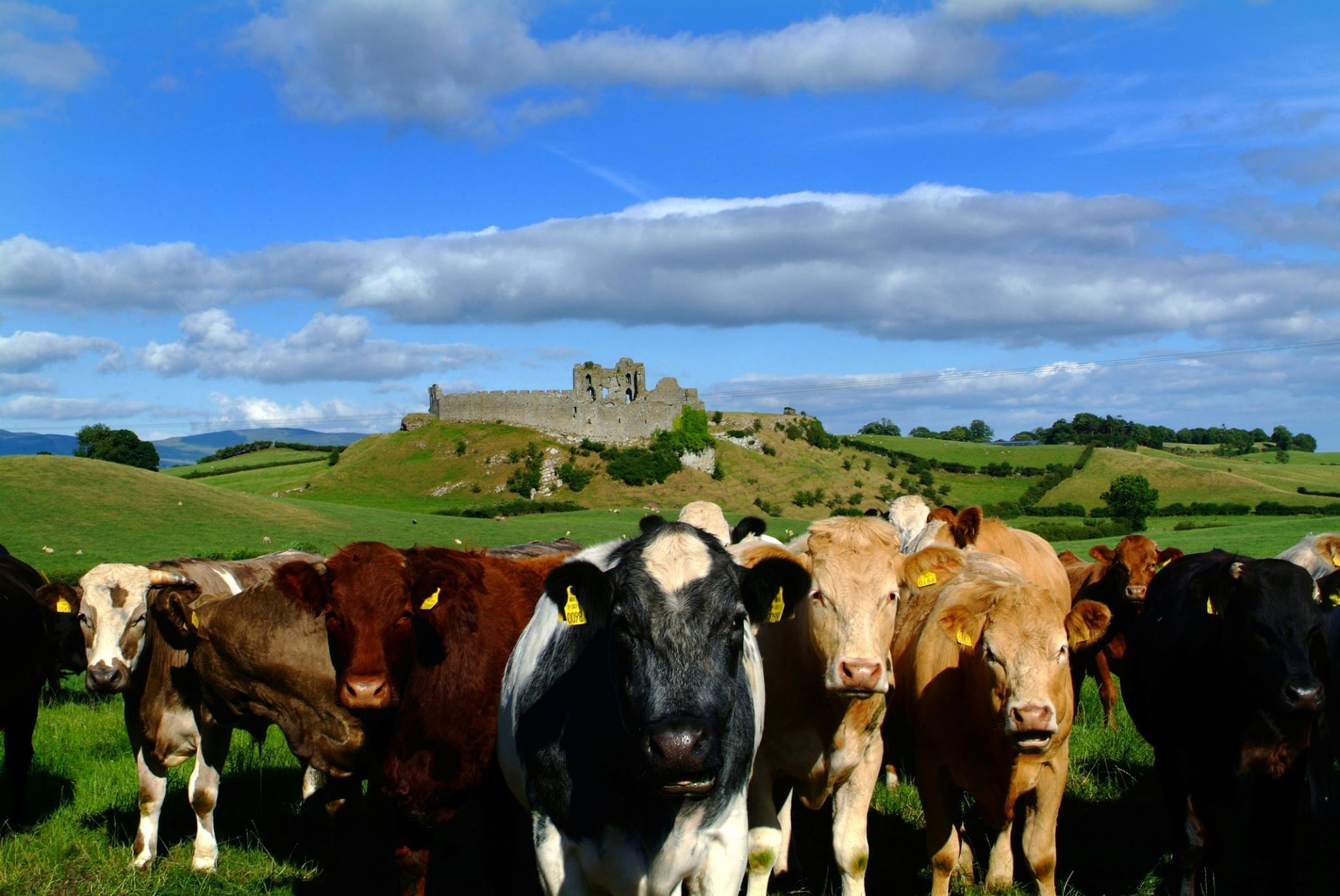 cows and castles