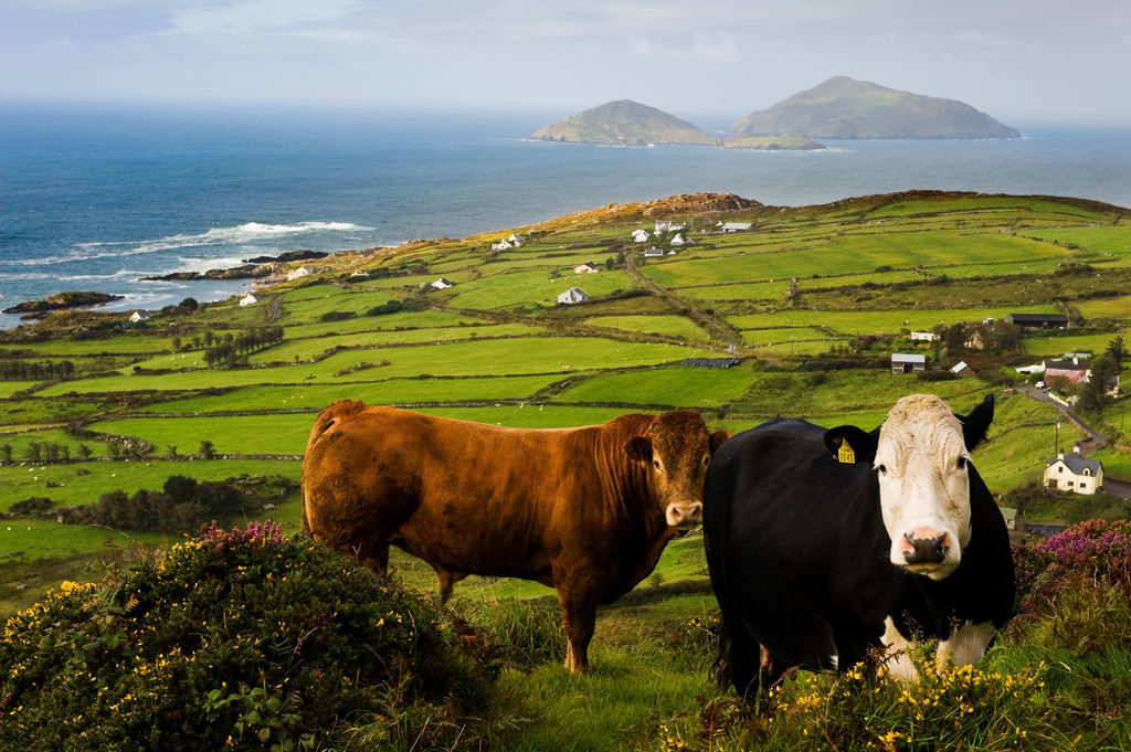 the ring of kerry cows