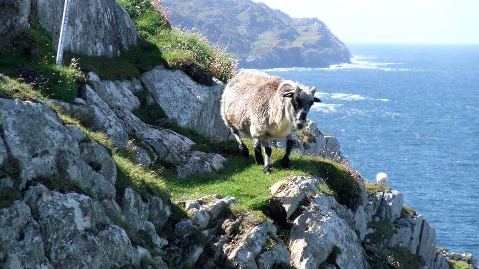 hike on sheeps head with a sheep pictured
