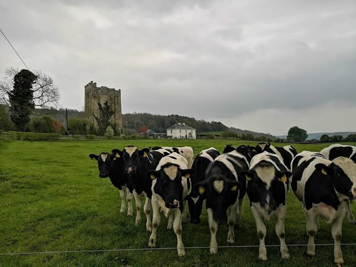 tubbrid castle cow