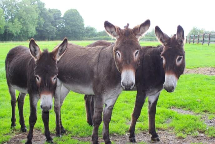 Donkeys at the Donkey Sanctuary in Cork