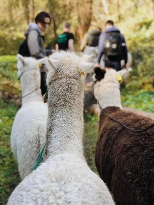 alpacas walking up a hill in wicklow