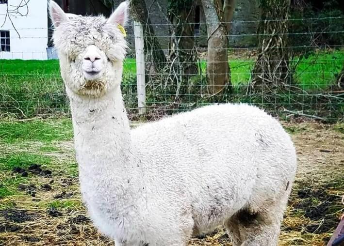 a very relaxed looking Alpaca in wicklow