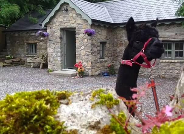 alpaca farm Airbnb
