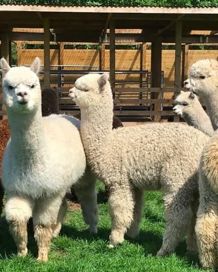 Hushabye Farm Alpacas