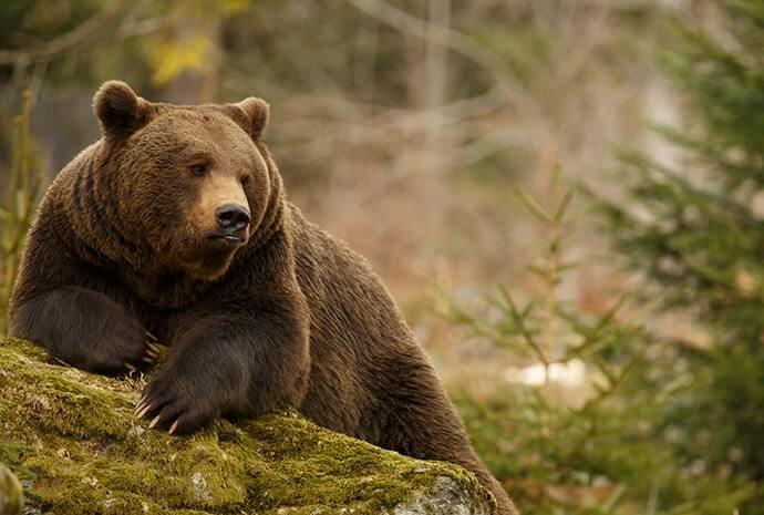 brown bears ireland