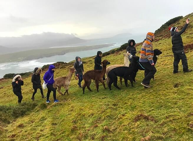hiking with alpacas