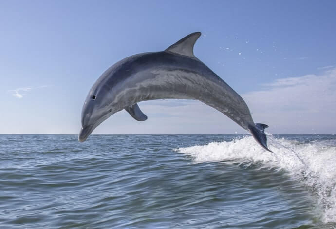 Dolphins in clare
