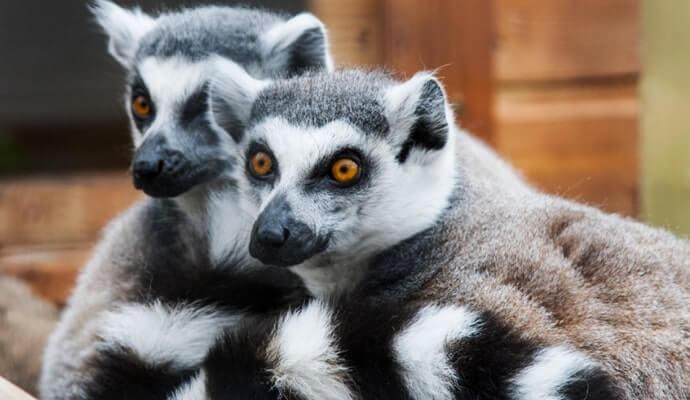 lemurs in Tropical World