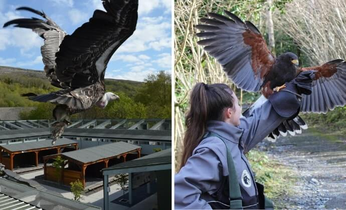 birds of prey at Aillwee caves